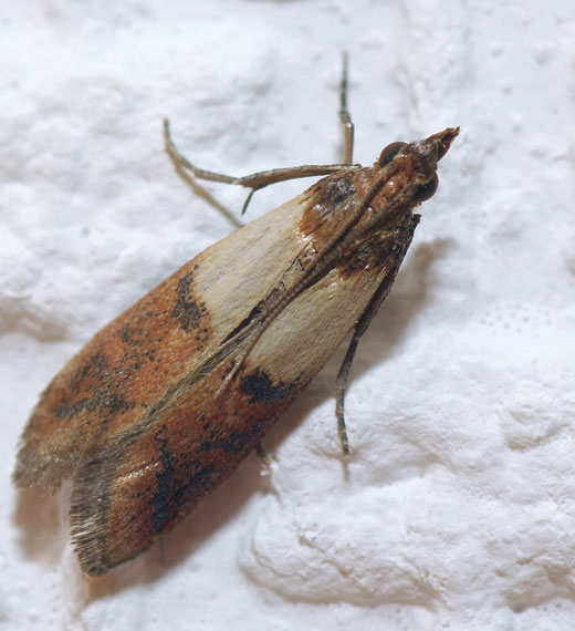 sidam Tignola fasciata