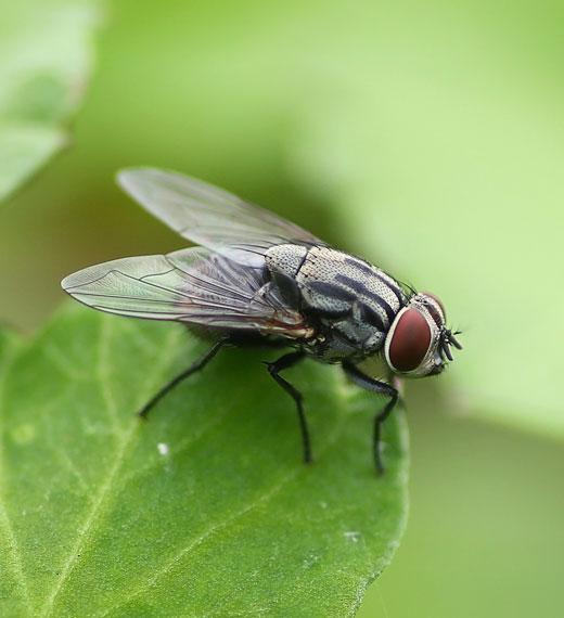 sidam mosca