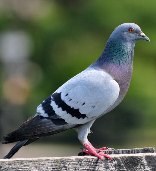 sidam piccione