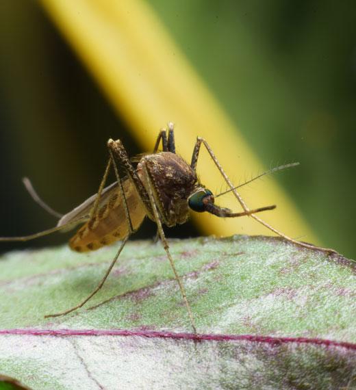 sidam zanzara